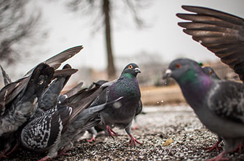 Pigeon Waste Removal 1